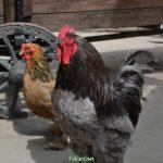 Петух и курица Брама возле телеги на птичьем дворе