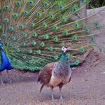 Самец (слева) и самка (справа) павлина обыкновенного
