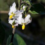 Белые цветки паслёна чёрного