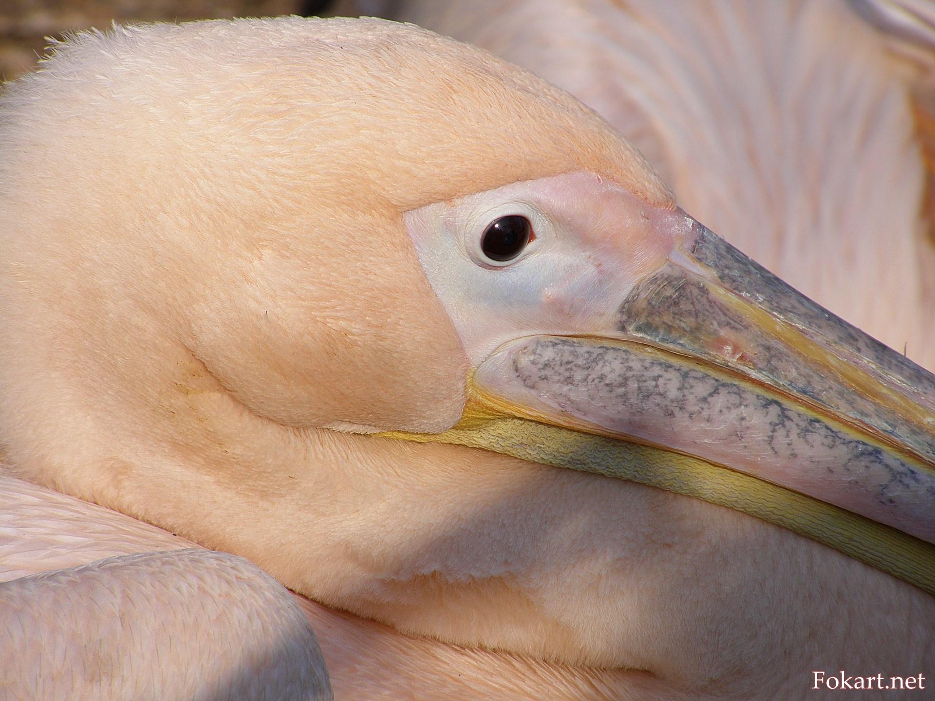 Портрет розового пеликана