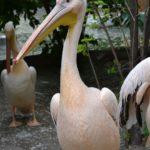 Розовый пеликан (Pelecanus onocrotalus) в зоопарке