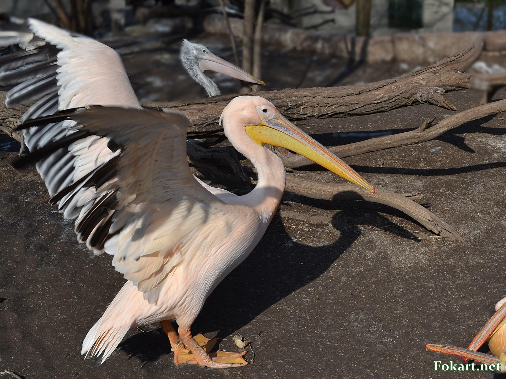 Розовый пеликан расправляет крылья