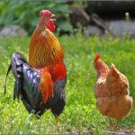 Петух и курица на зелёной траве
