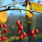 Плоды барбариса поздней осенью