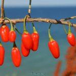 Красные плоды дерезы обыкновенной
