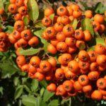 Грозди оранжевых плодов пираканты