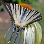Подалирий (Iphiclides podalirius) на цветке крупным планом