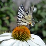 Бабочка Подалирий на крупном белом цветке эхиноцеи