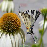 Бабочка Подалирий на крупном белом цветке с оранжевой серединкой. Вид сбоку.