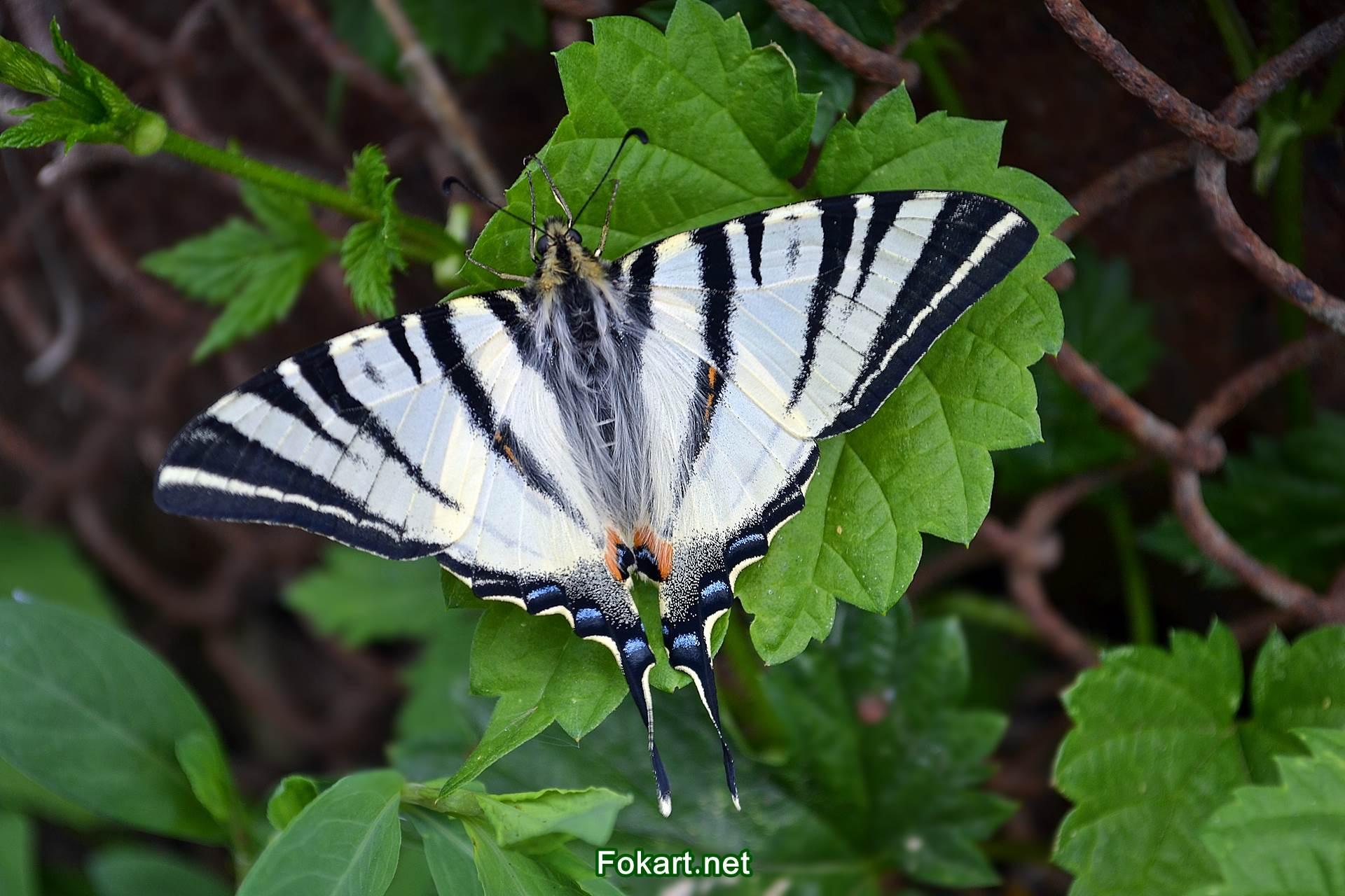 Бабочка Подалирий на зелёном листке в мае