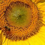 Живописная серединка созревающего подсолнуха и пчела