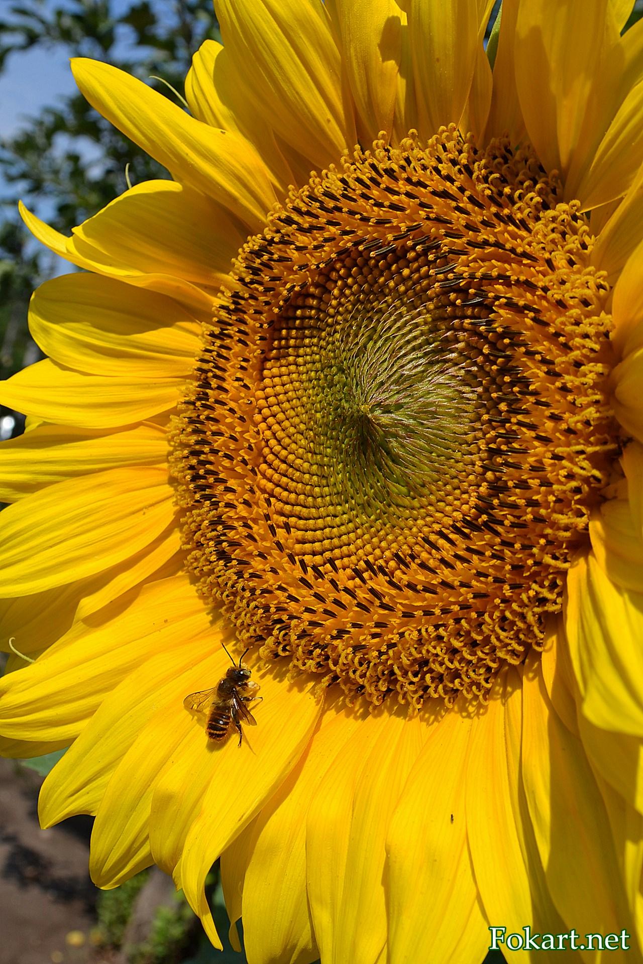 Пчела на лепестке подсолнуха