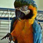 Сине-жёлтый попугай ара позирует перед камерой