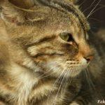 Профиль полосатой кошки крупным планом