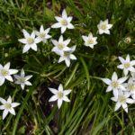 Белые цветочки птицемлечника зонтичного
