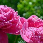 Три розовых пиона на фоне зелени