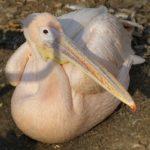 Розовый пеликан (Pelecanus onocrotalus) отдыхает, сидя на земле