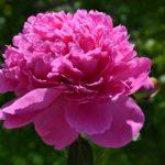 Пышный розовый пион на фоне зелени