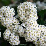 Белые соцветия спиреи на ветках кустарника