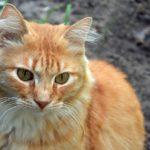 Рыжий задумчивый кот с зелёными глазами, фото-картинка