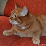 Рыжий кот с жёлтыми глазами на диване