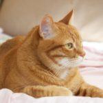 Профиль отдыхающего на подстилке рыжего кота