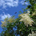 Белые соцветия-метёлки рябинника рябинолистного