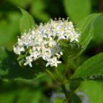 Нежное соцветие белых цветочков. Свидина