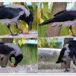Серая ворона нашла грецкий орех ...