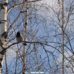 Серая ворона на голой ветке берёзы в декабре