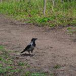 Серая ворона на дорожке между зарослями