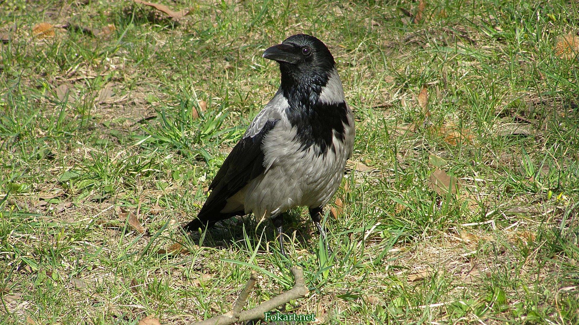 Серая ворона на траве, фото 2