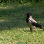 Серая ворона позирует перед камерой