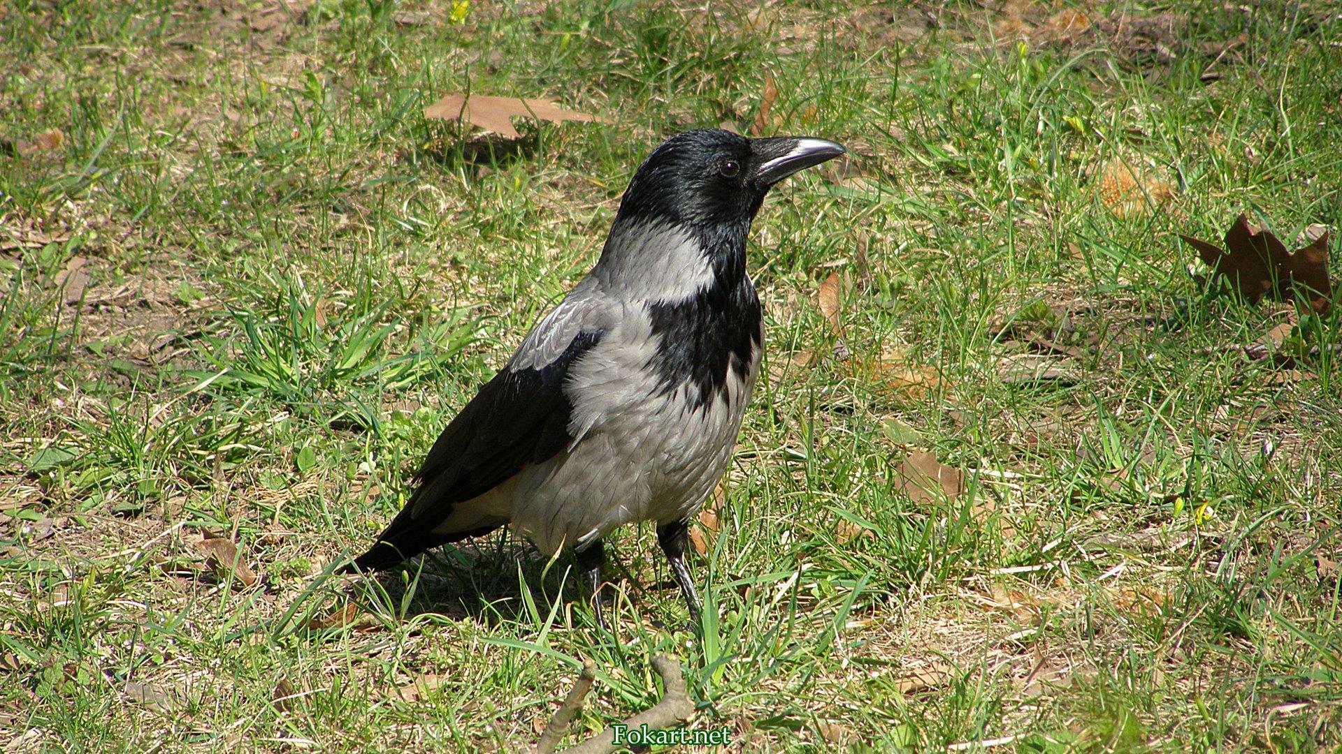 Серая ворона на траве