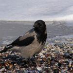 Серая ворона у моря