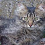 Серая и пушистая кошка с зелёными глазами