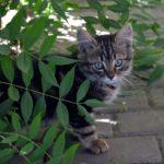 Серый котёнок с большими, серо-голубыми глазками