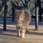 Серый, зеленоглазый кот стоит, изогнув кверху хвост