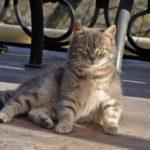 Симпатичный серый и зеленоглазый кот отдыхает