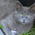 Серый и зеленоглазый кот крупным планом