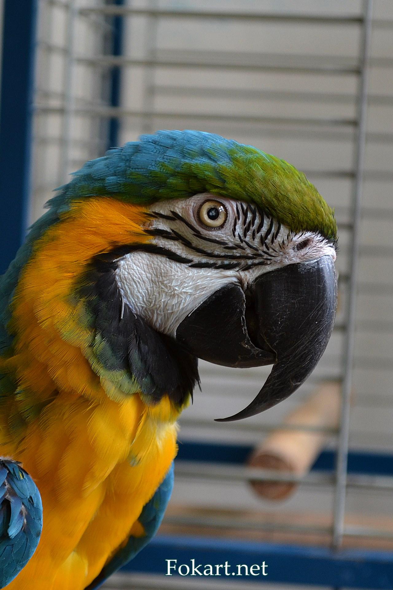 Сине-желтый ара крупным планом