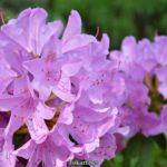 Нежное сиреневое соцветие рододендрона вблизи