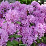 Множество сиреневых соцветий рододендрона