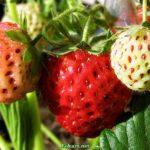 Созревающие ягоды клубники крупным планом.