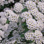 Красиво цветущий куст спиреи. Белые соцветия вблизи