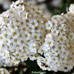 Белые соцветия спиреи крупным планом