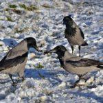 Три серые вороны на снегу