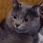 Тёмно-серый кот с жёлтыми глазами