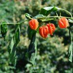 Оранжево-красные фонарики физалиса (Phusalis alkekengi)