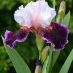 Фиолетово-сиреневый ирис в капельках дождя